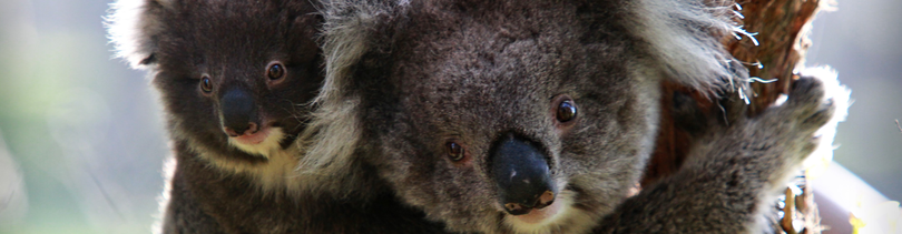 Southern koala and joey bb11e9ae e8e6 4de9 a2c4 bbdb89b6f355. f11892a7 50bf 4d06 93ce 09d93d325d48 0ea39c64 bb08 43ba 99c1 65aed6c04788